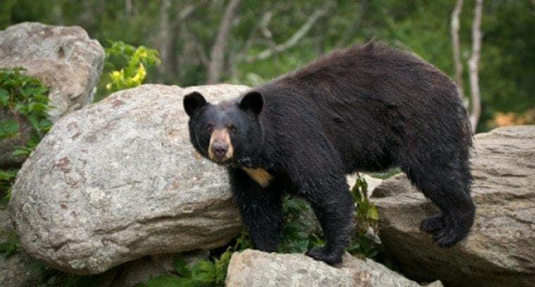 A large black bear in the Great Smoky Mountains National Park.