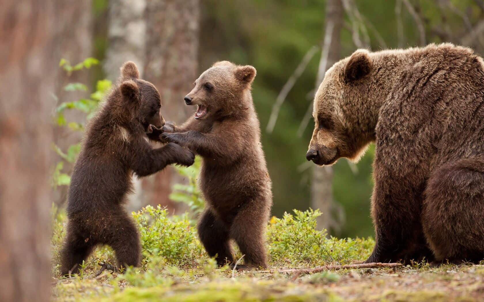Bear cubs playing while their mother looks on.