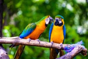 A couple parrots talking on a branch.
